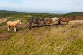 Wild ponies Quantock Hills Somerset England with purple heather