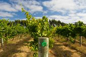Margaret River Chardonnay Vines