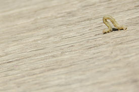 picture of inchworm  - Small brown worm crawling on wood inchworm - JPG