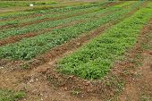 picture of chinese parsley  - parsley and chinese kale plant grown in the garden - JPG