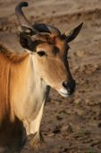 stock photo of eland  - Portrait of an Eland antelope with a strange horn - JPG