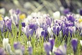 Vintage photo of spring field with colorful crocus flowers