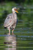 picture of bluegill  - Great Blue Heron eating a fish he just caught in soft focus