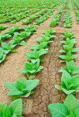 picture of tobaco leaf  - green tobacco field in thailand in summer - JPG