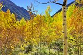 Yellow, Red And Green Aspens And Colorful Mountains Of Colorado During Foliage Season
