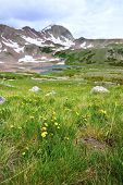 Wild Flowers In The High Altitude Alpine Tundra In Front Of The Mountain In Colorado During Summer