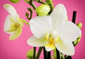 Detail Of A Beautiful Light Yellow Orchid Flowers With Buds