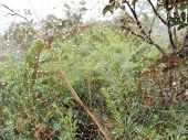 pic of spiderwebs  - Most delicate spiderweb with dew drops in the spruce forest - JPG