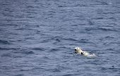 Polar bears swimming in sea, mother and cub