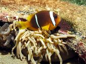 Anemonefish parent