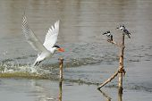 Two Pied Kingfishers Watch As Caspian Tern Emerges From The Water After A Dive