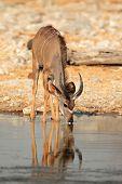 Kudu antelope (Tragelaphus strepsiceros) drinking water, Etosha National Park, Namibia