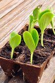Zucchini Seedlings