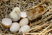 Beautiful Little Chicken, Eggs And Eggshell In Nest