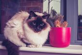 Birman Cat Sitting On Windowsill With Cactus