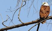 Brahminy Kite sitting on the bark and staring
