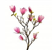 picture of magnolia  - Pink magnolia flowers isolated on white background - JPG