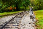 Kangaroo At The Railroad Racks