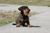 Coarse Haired Dachshund