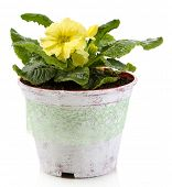 Yellow primrose in pot isolated on white