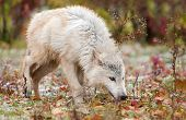 Blonde Wolf (Canis lupus) Sniffs To The Right