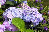 violet-pink hortensia in the garden closeup