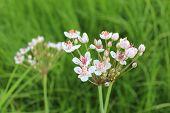 white flowers of butomus umbellatus