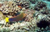 picture of hawkfish  - Arc - JPG