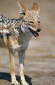 Black-backed Jackal (Canis Mesomelas) on savannah
