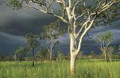 stock photo of eucalyptus trees  - Australia Eucalyptus trees in field - JPG