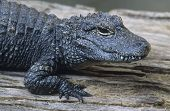 Alligator close-up