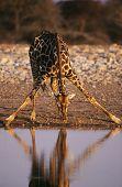 Maasai Giraffe (Giraffa Camelopardalus) drinking at waterhole