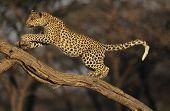 Leopard on Branch