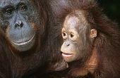 Orangutan with young close-up