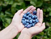Blueberries in the woman's hands. Blurred green shrubs on the background.