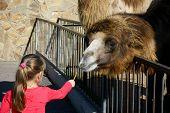 Little girl feeding brown camel sweet sticks