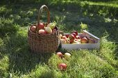Closeup of basket and crate of apples on grass
