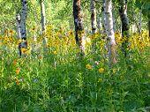 Wyoming Woods In Summer