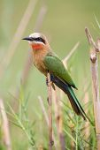 White Fronted Bee-eater Sit On Reed Waiting For The Next Inset To Come Near