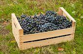 Wine Grapes In Box