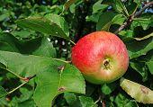 Apple On A Branch In A Garden