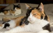 Calico cat resting on a bed, with another one on the background