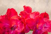 pic of gladiolus  - red gladiolus  flowers on a creamy background  - JPG