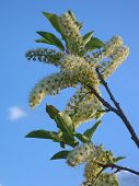 Chokecherry And Sky