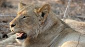 Lioness Resting After Kill
