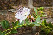 Caper's Flower