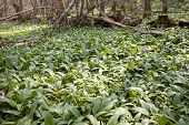 Lots Of Ramsons