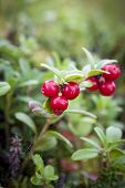Wild Lingonberries