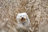 White Dog In A Cornfield
