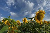 Summer Field With Yellow Sunflowers